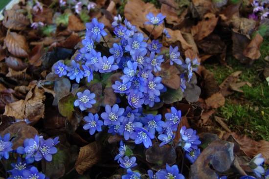 GMH_2014_07_08 Frühlingsbote mit Charme: Gegenwehr ist zwecklos, dem Liebreiz des Leberblümchens kann sich niemand entziehen.