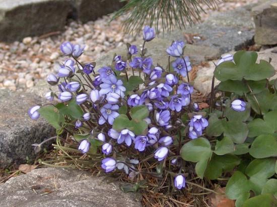 GMH_2014_07_09 Frühlingsbote mit Charme: Gegenwehr ist zwecklos, dem Liebreiz des Leberblümchens kann sich niemand entziehen.