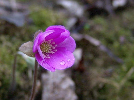 GMH_2014_07_10 Frühlingsbote mit Charme: Gegenwehr ist zwecklos, dem Liebreiz des Leberblümchens kann sich niemand entziehen.