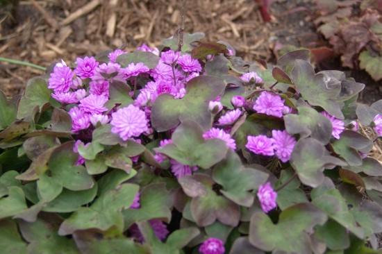 GMH_2014_07_11 Frühlingsbote mit Charme: Gegenwehr ist zwecklos, dem Liebreiz des Leberblümchens kann sich niemand entziehen.