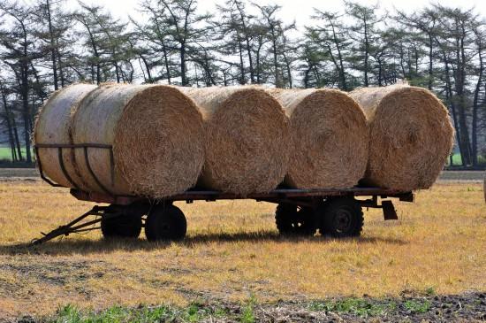 Begehrtes Stroh –- Pilzanbauer als nachhaltige Nutzer