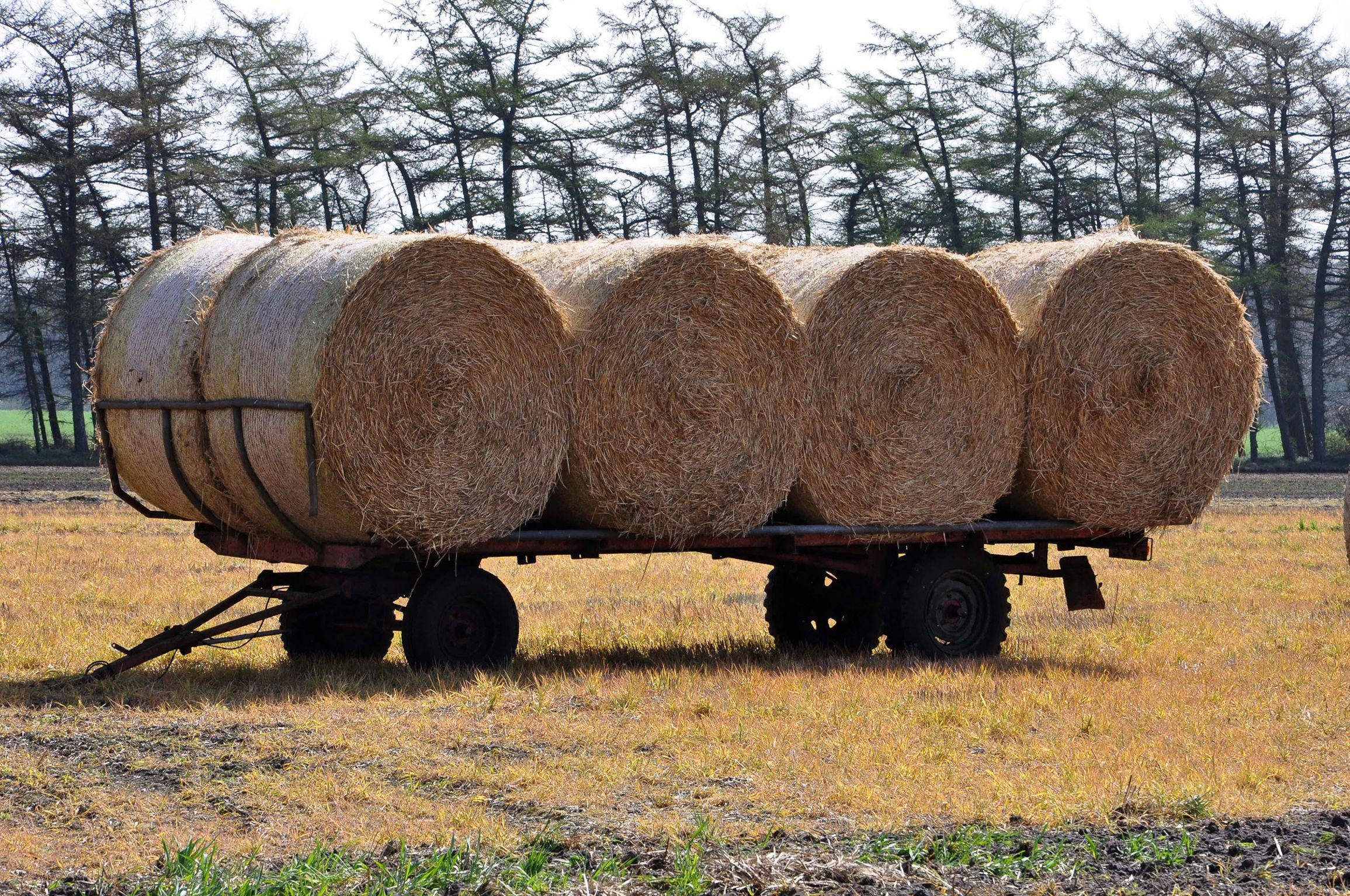 Begehrtes Stroh – Pilzanbauer als nachhaltige Nutzer