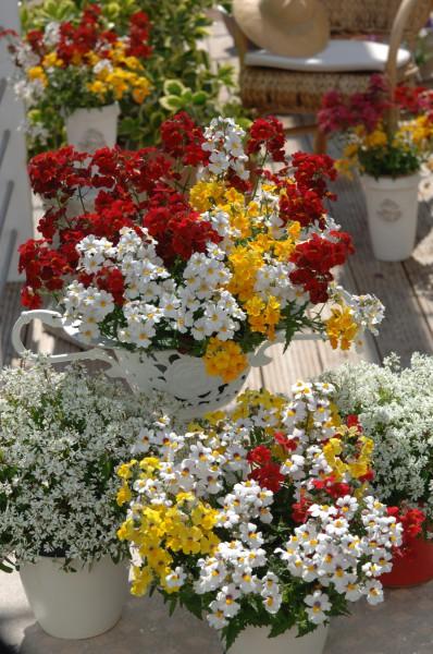 Eine Elfenspiegel-Kombination blüht in Rot, Gelb und Weiß Beet- und Balkonpflanze des Jahres 2014 für Baden-Württemberg
