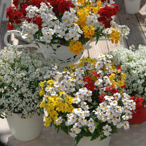 Drei Elfen blühen in Rot, Gelb und Weiß - Beet- und Balkonpflanze des Jahres 2014 für Hessen