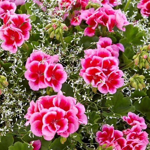 Bayerische Pflanze des Jahres 2014: Schneeweißchen und Rosenrot verschmelzen zu einem Strauß