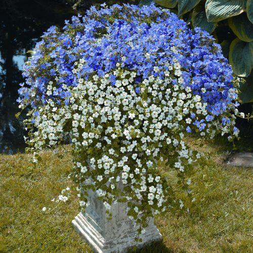 """Balkonpflanze des Jahres 2014"""" in Rheinland-Pfalz:Weiße und blaue Blüten formieren sich zur """"Traumwolke"""""""