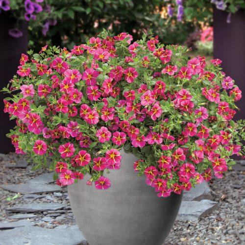 Pflanze des Jahres im Norden: Der Norden setzt auf eine Blütenkugel in Pink u