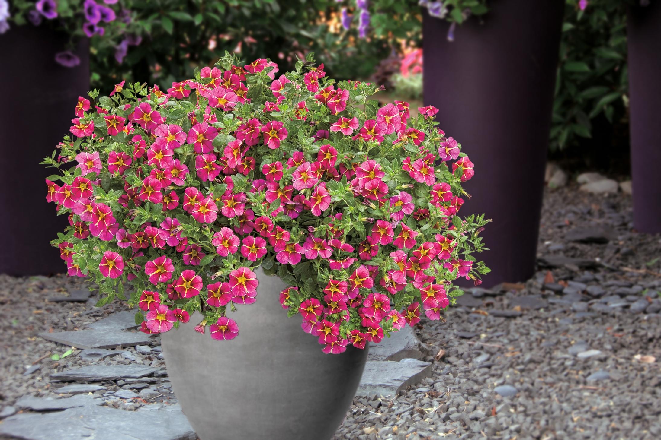 Pflanze des Jahres im Norden: Der Norden setzt auf eine Blütenkugel in Pink und Gelb