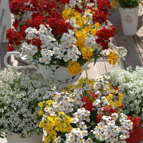 GMH_2014_11_08: Eine Elfenspiegel-Kombination blüht in Rot, Gelb und Weiß Beet- und Balkonpflanze des Jahres 2014 für Baden-Württemberg