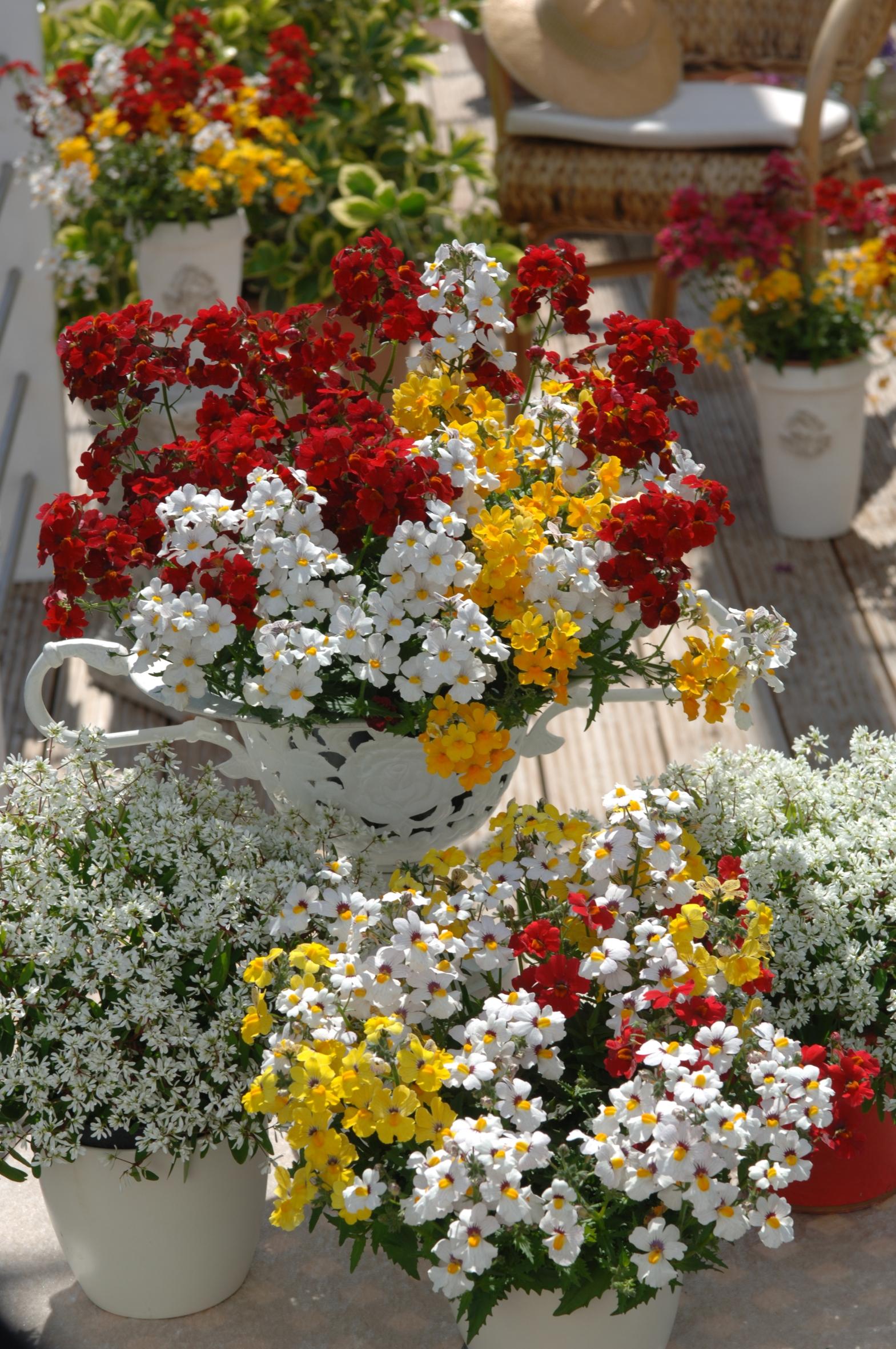 Eine Elfenspiegel-Kombination blüht in Rot, Gelb und Weiß: Beet- und Balkonpflanze des Jahres 2014 für Baden-Württemberg