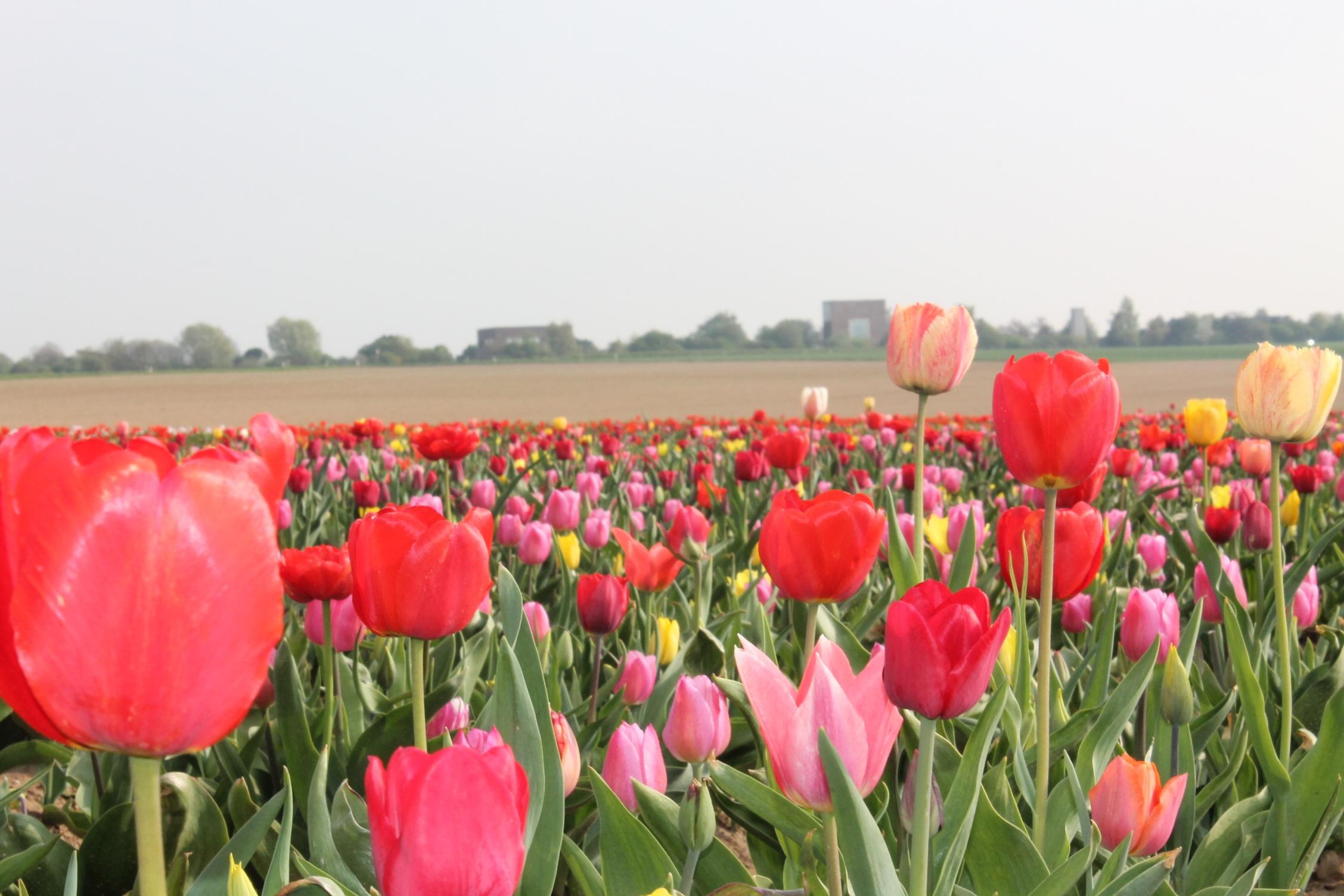 Tulpen im Rheinland – nah am Kunden