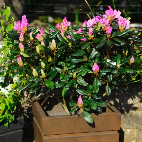 Kübelgehölze locken mit Blüten und Früchten auf Augenhöhe
