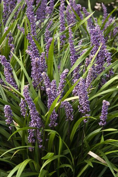 14 Gut gewappnet: Wintergrüne Stauden machen den Garten auch in der kalten Jahreszeit zum Hingucker. Nach dem Sommer beginnt die Pflanzzeit.