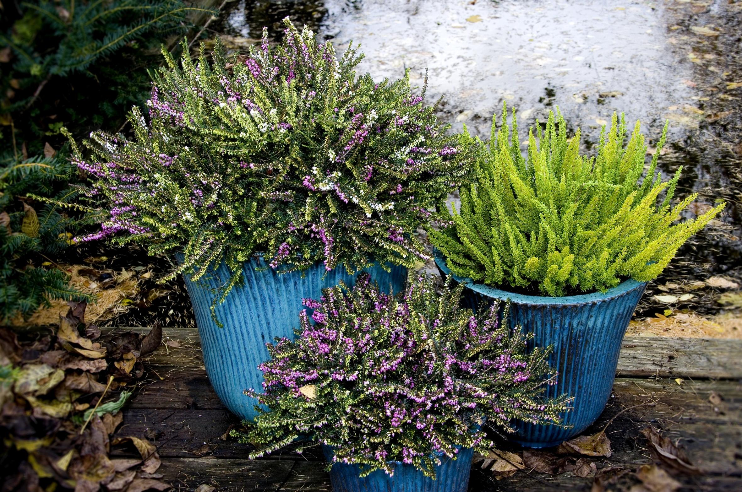 Blütenteppich im Winter: Die Englische Heide bezaubert auf den zweiten Blick