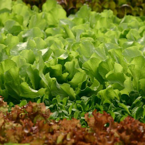 Regionale Erzeugung: Feldsalat hat jetzt Saison