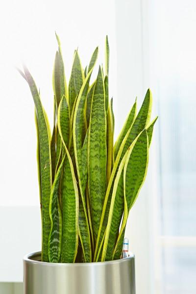 Zimmerpflanzen im Gleichgewicht - Raumbegrünung nach Feng Shui