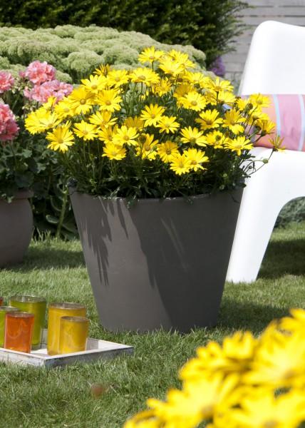 """Strahlende Siegerin: Kapkörbchen """"Lachende Lucy"""" wird """"Bayerische Pflanze des Jahres 2015"""""""