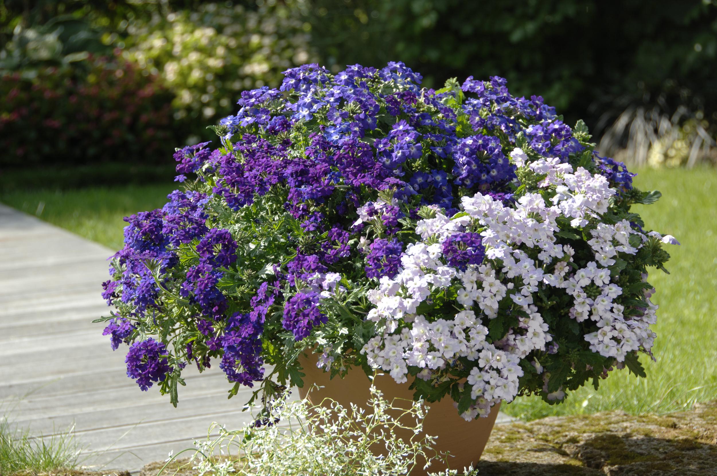 Balkonpflanzen Pflegeleicht ? Performal.info Hubsche Balkonpflanzen Pflegeleicht