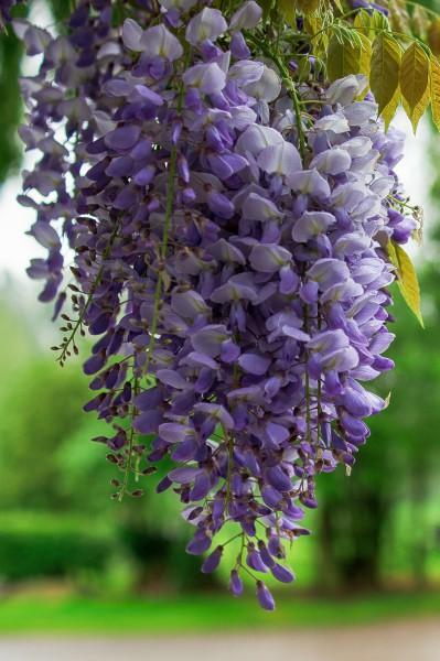 Viele Blüten auf kleinem Raum: Klettergehölze finden überall ihren Platz