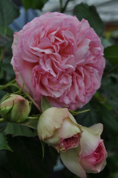 Rosen sind pflegeleichter als ihr Ruf