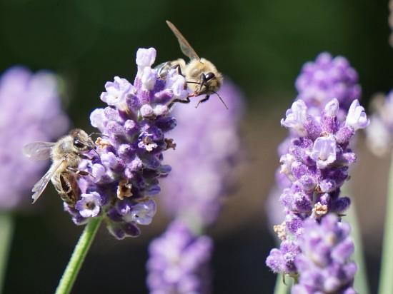 Lavendel zieht Menschen und Bienen gleichermaßen an