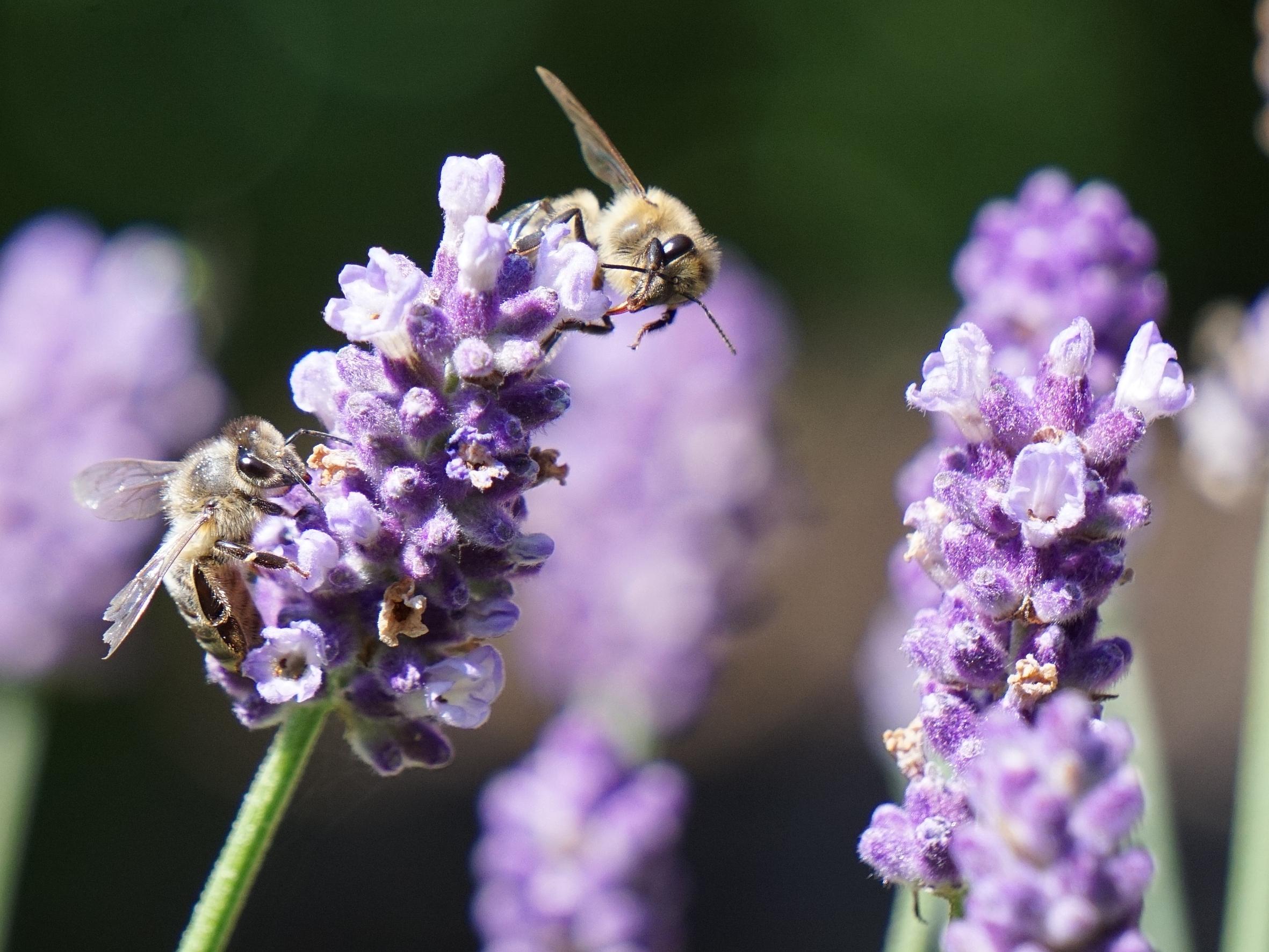 Lavendel Zieht Menschen Und Bienen Gleichermassen An Das Grune