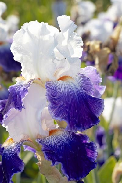 Iris - die Blume des Regenbogens