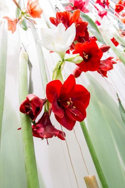 Amaryllis braucht drei Jahre Pflege bis zur ersten Blüte