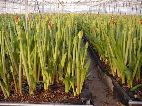 Amaryllis braucht drei Jahre Pflege bis zurersten Blüte