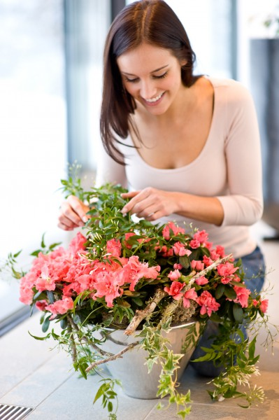 Azaleen-Blüten bringen Farbe ins Wintergrau