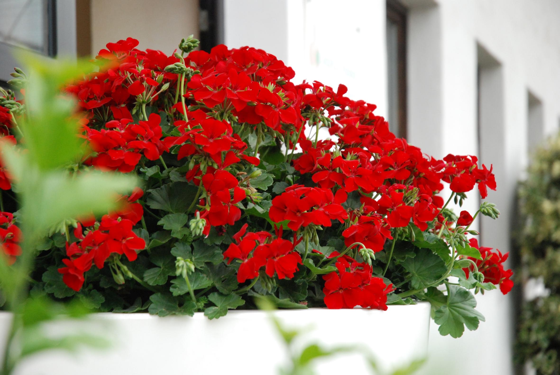 Vroni Marathoni – die ausdauernde Blühschönheit