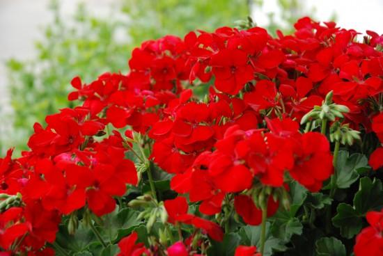 Vroni Marathoni - die ausdauernde Blühschönheit