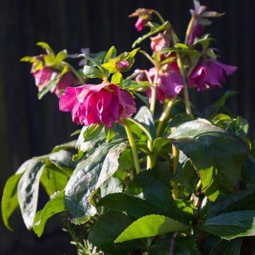 Die Frühlingssonne lässt auch Pflanzen strahlen, hier Helleborus orientalis 'SP Elly'