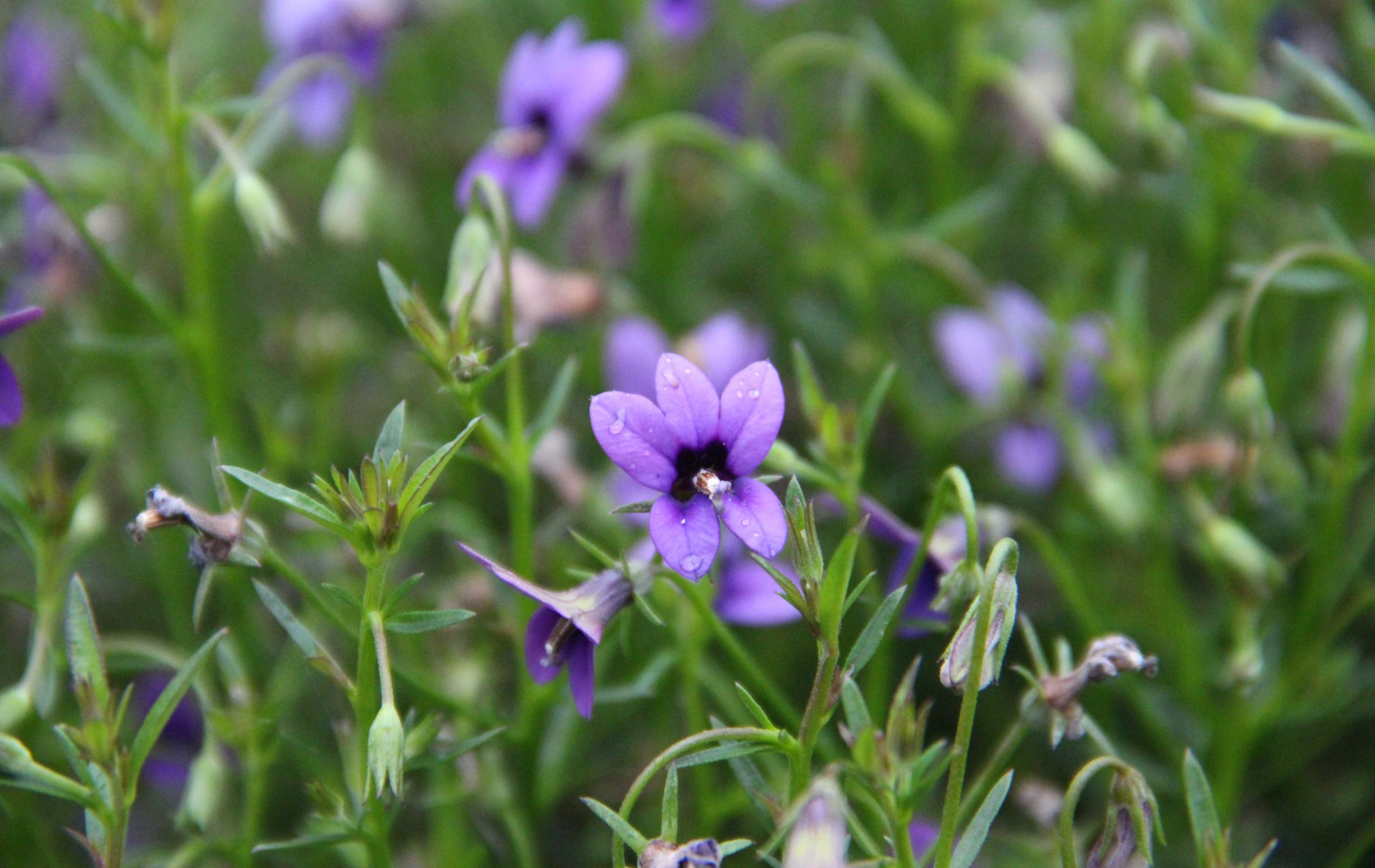 Blaue Koboldblumen sind vielseitige Partner in Gefäßen und im Beet