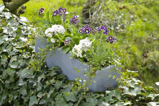 Alte Gartenschätze neu entdeckt: Aurikel sind wieder auf dem Vormarsch