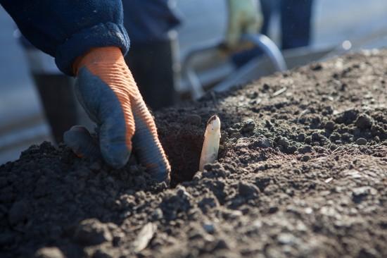Nach dem Johannestag sammeln Spargelpflanzen wieder Kraft