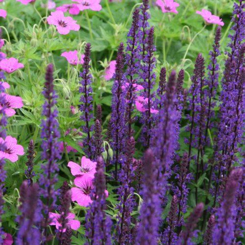 Fast wiesenartig wachsen der hochstrebende Salbei (Salvia caradonna) und der offen blühende Storchschnabel (Geranium psilostemon) ineinander.