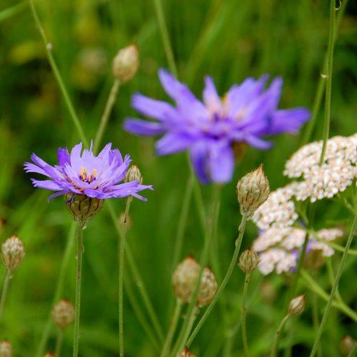 Einen Sommergruß vom Mittelmeer vermittelt die Rasselblume