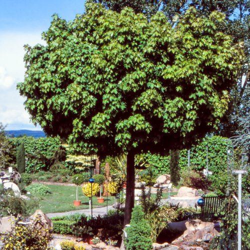 Kugelbäume bleiben über Jahre gut in Form