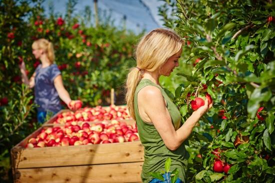 Die deutsche Apfelernte ist in vollem Gange
