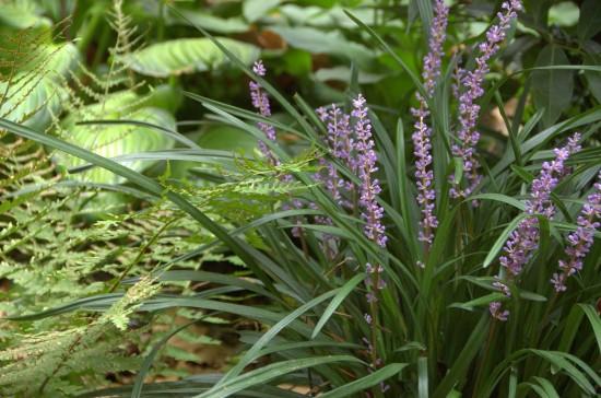 Bis zu ihrer Blüte schien die Liriope muscari vielen ein Gras zu sein