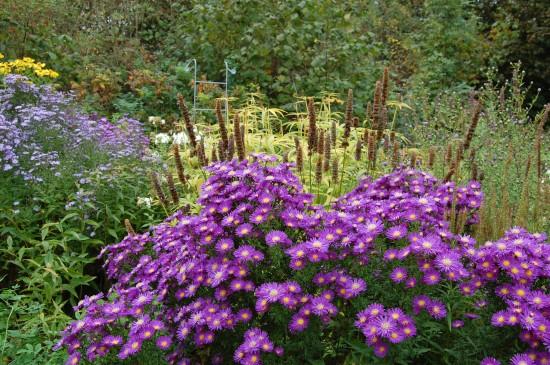 Asternzeit! In Blau-, Rosa-, Violett- und Weißtönen strahlen Astern jetzt