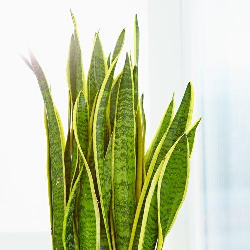 Zimmerpflanzen das gr ne medienhaus for Zimmerpflanzen hydrokultur