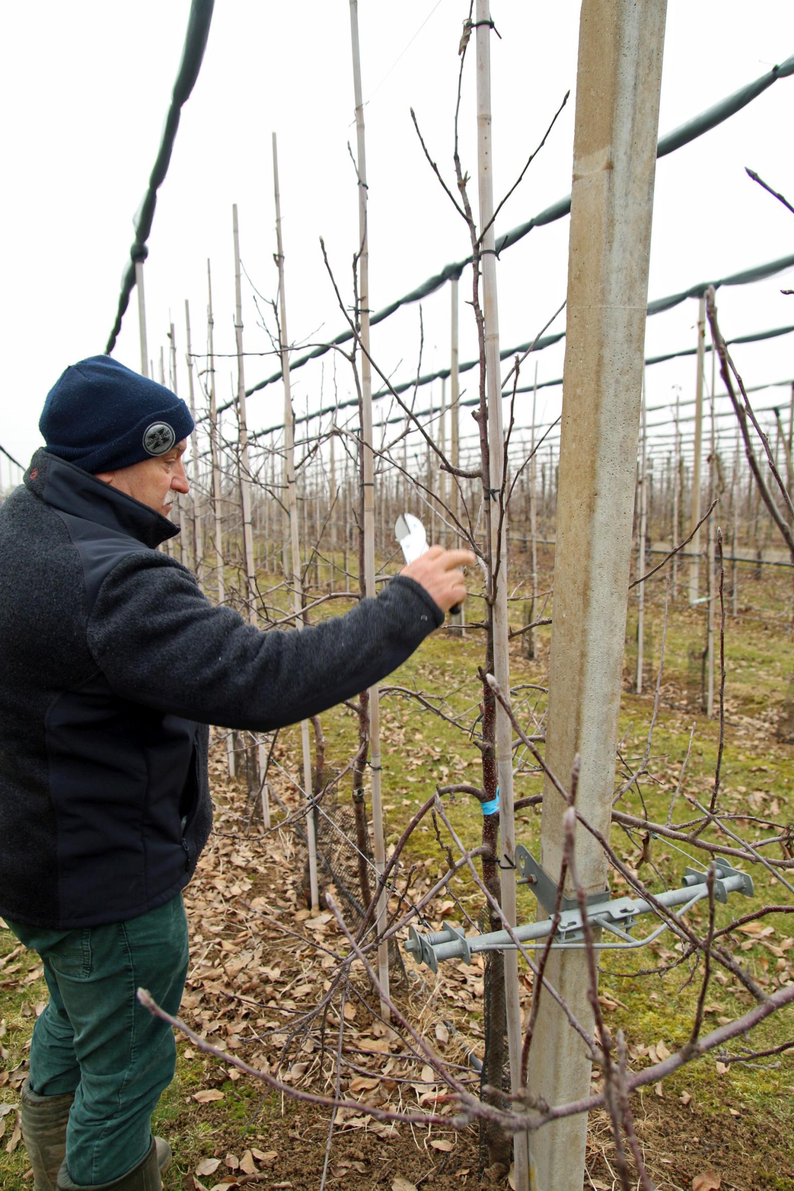 Der Obstbauer pflegt und erzieht seine Bäume