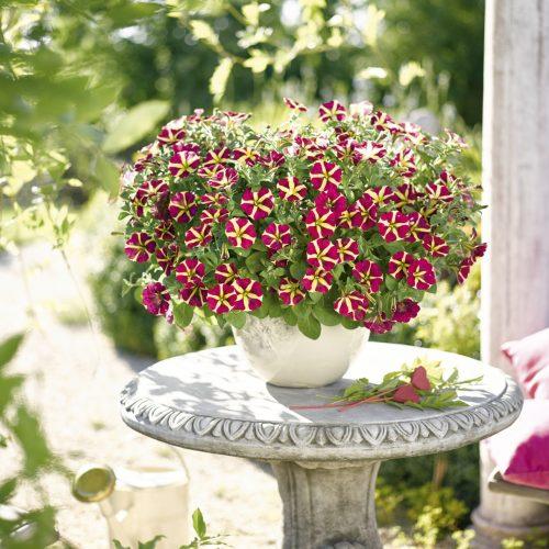 """""""Sinnliche Sissi"""" - Eine Pflanze mit Herz"""