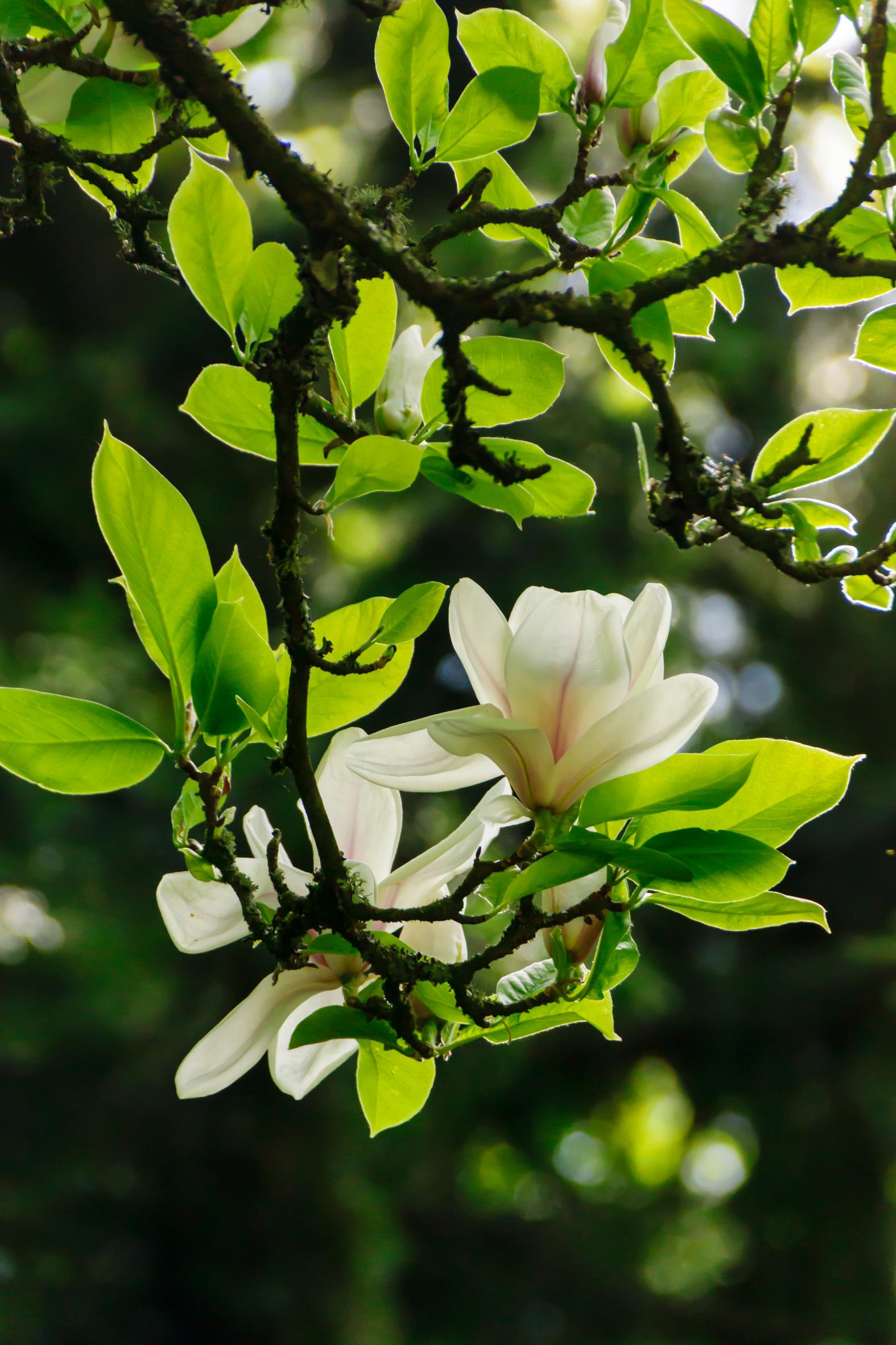 Magnolien: Edle Blüten aus Fernost
