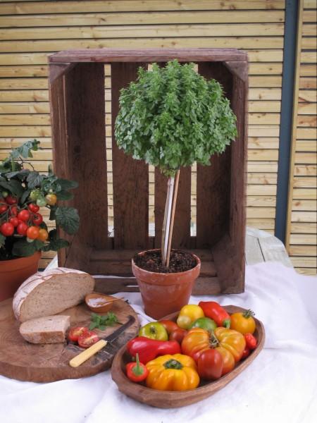 Pfiffige Gärtner ziehen Basilikum als Hochstämmchen