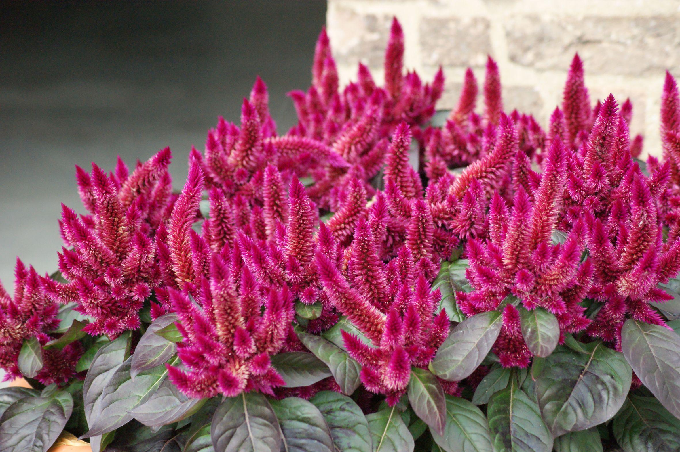 Federbüschel und Hahnenkamm – Celosien-Blüten sehen spektakulär aus