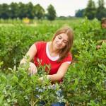Erntezeit für heimische Beeren – Jetzt gibt es den Extrakick für die Gesundheit
