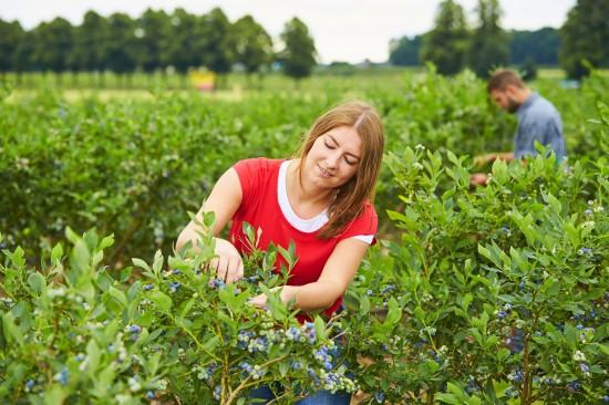 Erntezeit für heimische Beeren - Jetzt gibt es den Extrakick für die Gesundheit